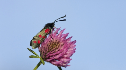Six-spot burnet moth resting on the head of a red clover plant