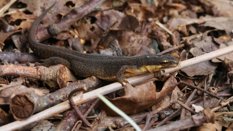 A smooth newt walking through the leaf litter