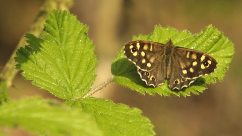 A speckled wood butterfly basking on a leaf in the sunshine