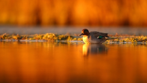 A teal walking into water as the sunrise casts an orange glow