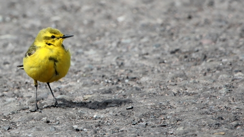 A yellow wagtail standing on the ground