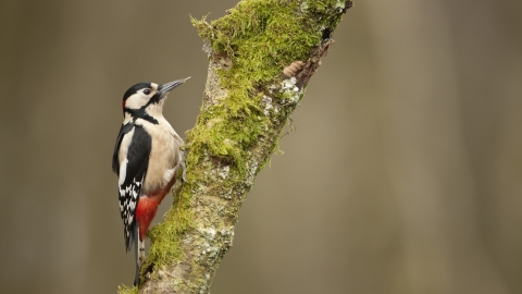 A great-spotted woodpecker feeding on a mossy tree