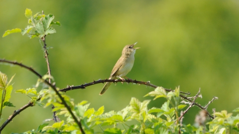 A grasshopper warbler sitting on a thorny branch and singing