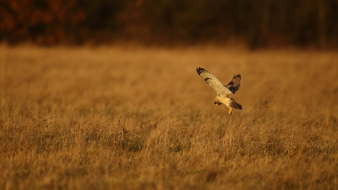 A short-eared owl hovering as it hunts over grassland