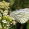 A green-veined white butterfly feeding on white flowers