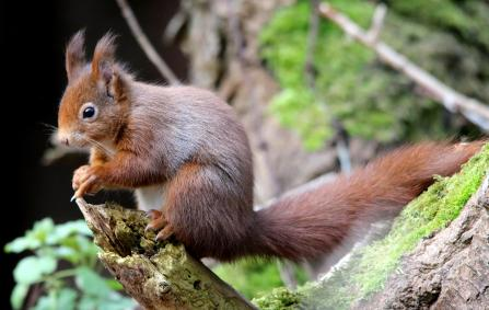 Red squirrel by Karen Lonsdale