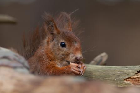 Red squirrel by Mike Snelle