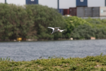 A common tern hovering over the water at Seaforth