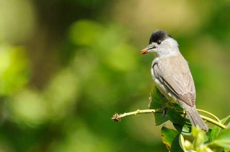 A male blackcap sitting on a twig with a ladybird in its mouth