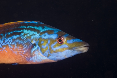 A brightly-coloured cuckoo wrasse photographed against a black background