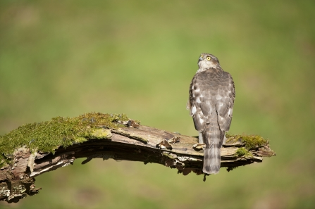 A juvenile sparrowhawk perched on an old leg in a woodland