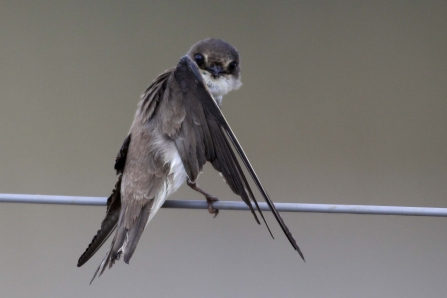 A sand martin sitting on a telephone wire and preening