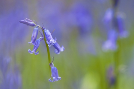 Sprigs of bluebells in a woodland