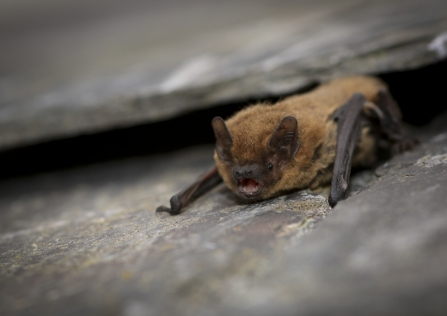 A common pipistrelle bat resting on a slate roof tile