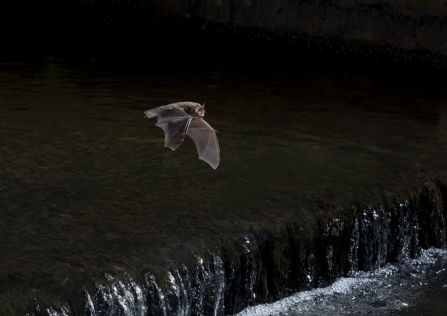A Daubenton's bat hunting for insects over a river