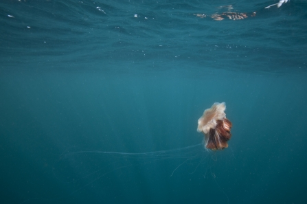 A lion's mane jellyfish swimming serenly through the ocean