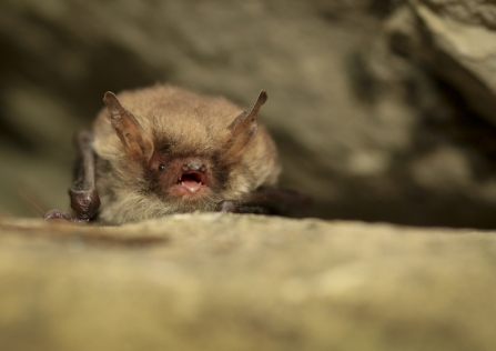A natterer's bat sitting on a stone in a cave