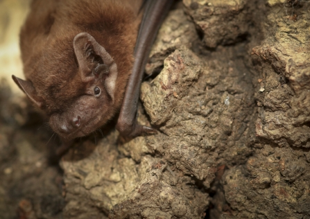 A noctule bat resting on a rock