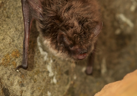 A whiskered bat clinging to a rock upside down