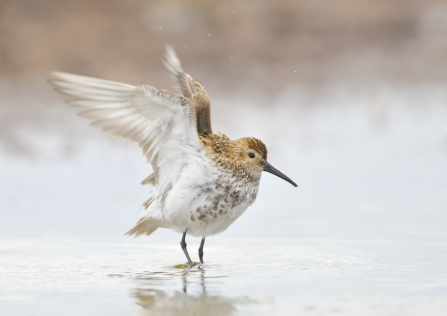 A dunlin standing in water on the edge of the beach and stretching its wings
