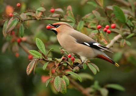A waxwing sitting on a tree branch with a red berry in its mouth