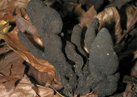 A clump of dead man's fingers fungi growing up through leaves on the forest floor