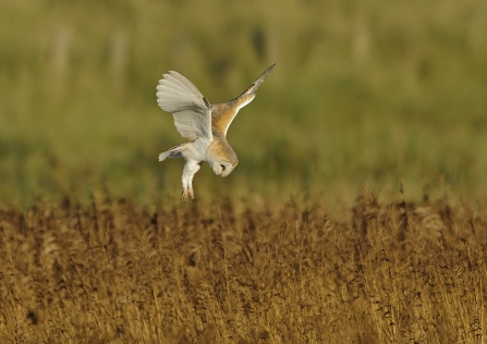 A barn owl hovering above prey as it hunts in a field
