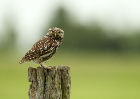 A stern-looking little owl standing on a fence post