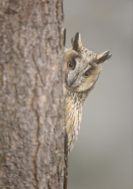 A long-eared owl peeping out from behind a tree