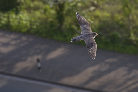 An urban peregrine falcon flying over a figure walking down the street