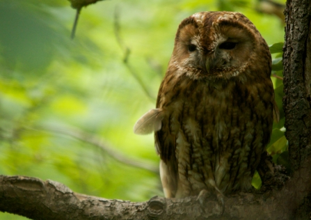 A tawny owl sleepily perched in a tree