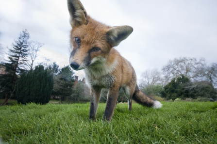 A red fox staring down into camera