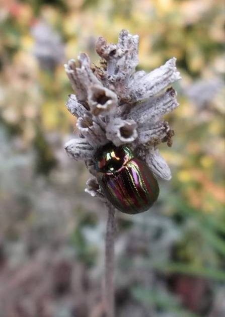 Striped Rosemary Beetle (c) Jeff Gorse