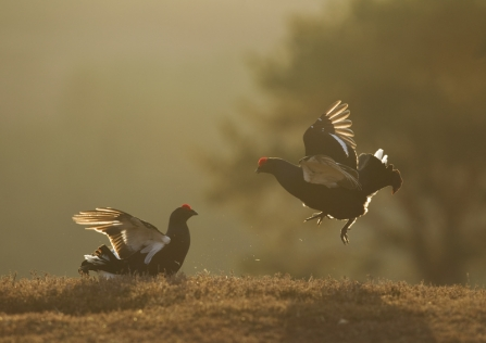 A pair of male black grouse lekking at dawn