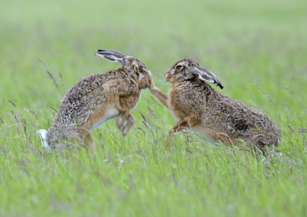 Two hares boxing in a field