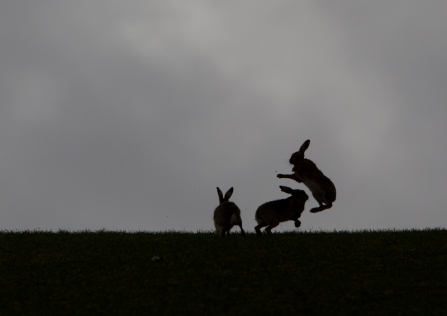 Boxing hares silhouetted on the horizon