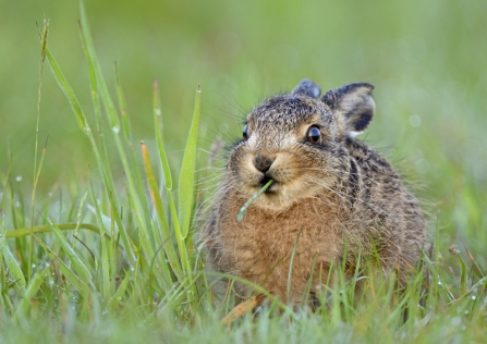A brown hare leveret hunkered down and chewing on grass