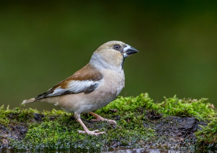 A hawfinch standing on moss next to a pool of water
