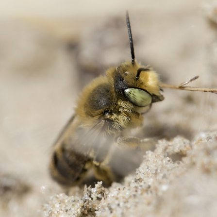 A silvery leafcutter bee climbing up a sandy bank