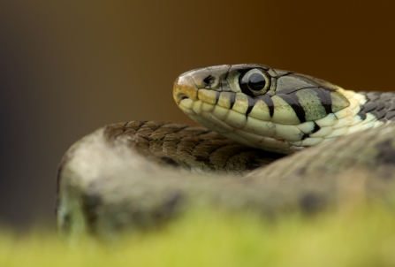 Close-up of a grass snake resting in the grass