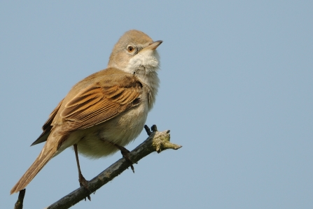 A whitethroat perched on a twig on a blue sky day