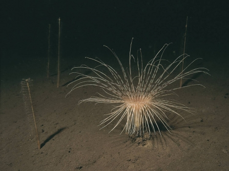 Sea pens and a fireworks anemone on the deep sea floor