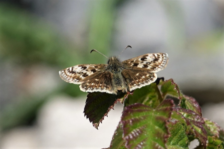 A dingy skipper butterfly resting on vegetation at Warton Crag