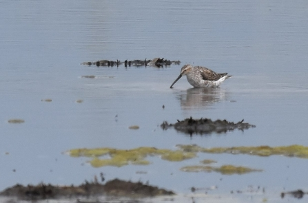 A stilt sandpiper probing the mud for invertebrates at Lunt Meadows Nature Reserve
