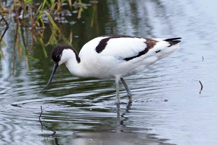 An avocet wading through a pool at Lunt Meadows nature reserve