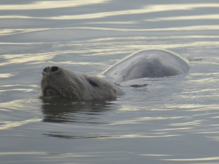 A grey seal swimming and hunting flounder in Heysham harbour