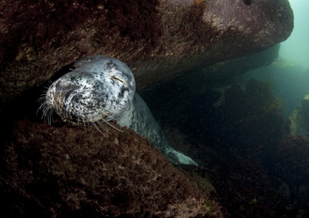A grey seal resting on rocks underwater