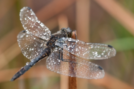 A black darter dragonfly covered in dew drops while it rests on vegetation