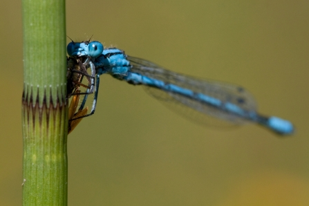 A common blue damselfly eating an insect on a plant stem