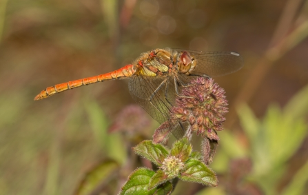 A common darter dragonfly resting on vegetation